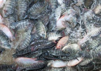 Fish Harverst